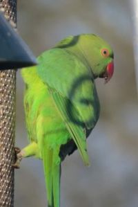 Only one Rose-ringed Parakeet for breakfast today.