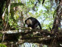 Capuchin Monkey in Costa Rica 2013