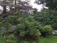 Blue Monkshood Vancouver 2
