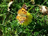 A Butterfly on a Dandelion in October