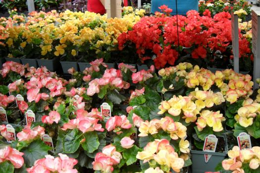 Shopping for Begonias