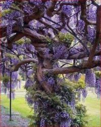 Ancient Wisteria