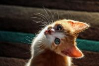 Cute Orange & White Kitten