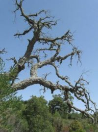 An old tree with lichen, Sardinia, Italy