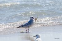 2015-02-08 Seagull Snags Starfish From the Surf