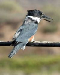 Belted Kingfisher with fish almost down her throat, Lagoon Trail, Del Mar, California