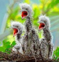 Heron Chicks