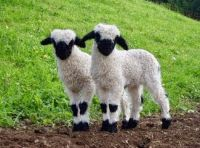 Cute black nose sheep