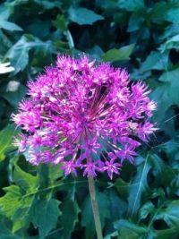 Allium-ui