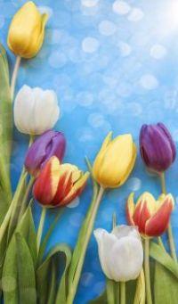 tulip-spring-background
