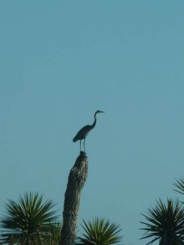 Blue Heron Observing His Territory