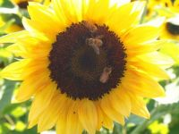 Bees loving the sunflower
