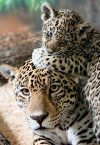 momma and cub