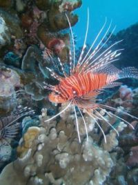 LION FISH, THAILAND