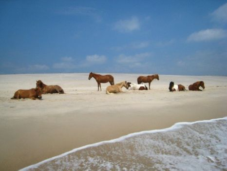 wild horses on virginia shoreline