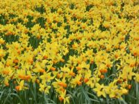 Series springflowers: Daffodils - if you try to count them you will fall asleep!