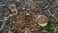 Boletus edulis - Porcini mushrooms (2)