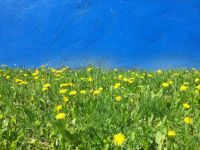 Dandelions and Blue wall