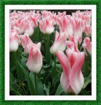 Pravé holandské tulipány...  Real Dutch tulips ...