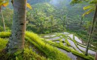 Rice paddies, probably in Bali?