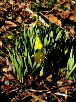 First heirloom daffodils to bloom  2-16-13.