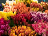 Tulips in the Seattle Markets