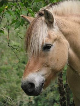 Norwegian Fijord Horse