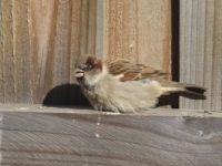 Sparrow sunning itself
