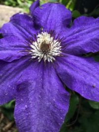 AMAZING work of nature — clematis