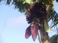 206 Flowering bannana-Madeira