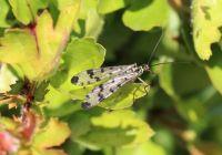 German Scorpion Fly