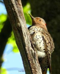 NORTHERN FLICKER YELLOW-SHAFTED (female)