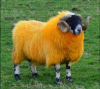 A sheep dyed orange in Glen Quaich, Scotland.