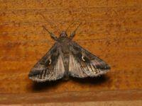 Silver Y moth - Autographa gamma (Gamma-uil)
