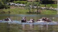 Hungry , hungry hippos--Colombian version