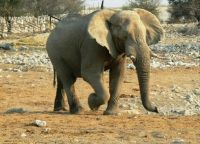 Elephant at Ethosha, Namibia