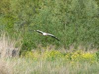 Limping stork, Vondelpark, Amsterdam.