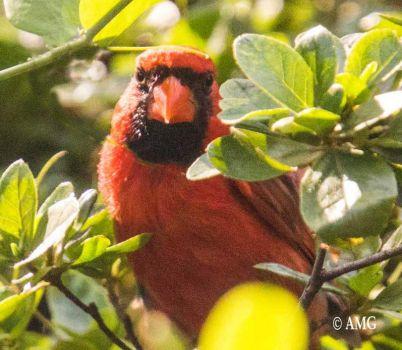 Cardinal  in the azaleas