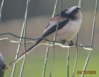 Long Tailed Tip showing of its lovely coloured plumage