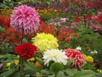 The beautiful and colourful dahlia.