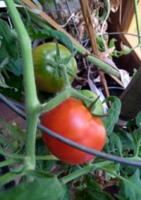 "The last of the ""winter tomato"" experiment."