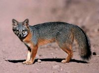 Channel Islands foxes - Catalina Island fox (Urocyon littoralis catalinae)  by Catalina Island Conservancy