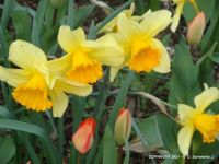 MORNING WALK – Spring Flowers - Daffodils and Tulips