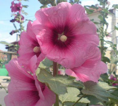 Purple hollyhock