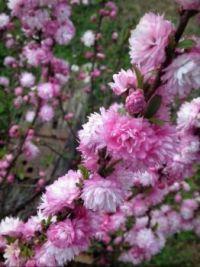 ornamental almond