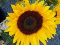 Massive sunflower blossom
