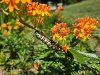 Monarch Caterpillar on Milkweed Blossoms