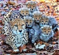 CONTENTED CHEETAH FAMILY