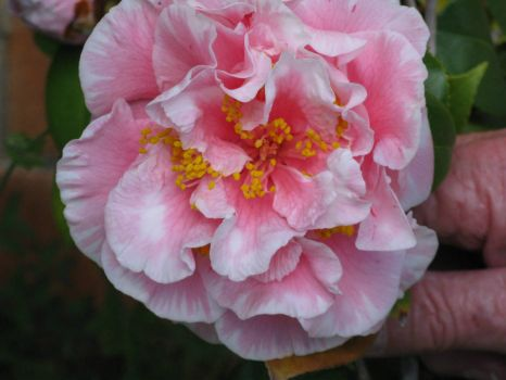 Camellia - pink with a white edge