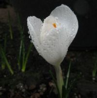 Crocus (and Impie)  in the rain....